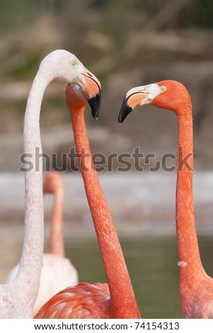 Three Flamingos Arguing in water