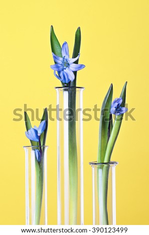 Three flowers in a test tubes on a yellow background. Scientific Experiment. Blue snowdrop flowers in a glass vases. Spring still life with bluebells. Siberian squill or Scilla siberica. - stock photo