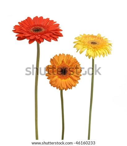 three flowers isolated on white - stock photo