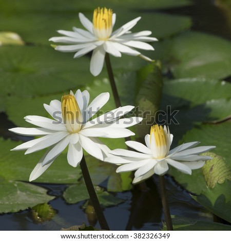 Three flowers of the white egyptian lotus (Nymphaea lotus), in a Vietnamese pond in Mekong. - stock photo