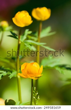 Three flowers Trollius europaeus closeup on the background of green leaves - stock photo