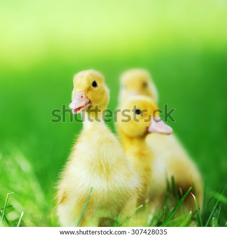 three fluffy chicks walks  in green grass - stock photo