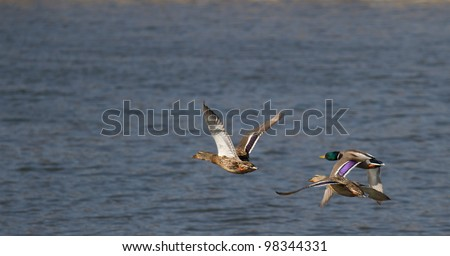 Three flying ducks over the water - stock photo