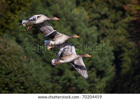 Three flying geese against a simple background - stock photo