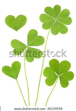 three & four leaf Clovers - stock photo