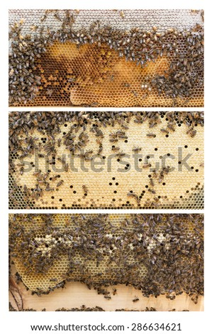 Three frames of Apis mellifera, aka Western or European honey bees. Each frame has a different purpose.. The first is nectar and honey, the second is capped worker brood and the third is drone brood. - stock photo