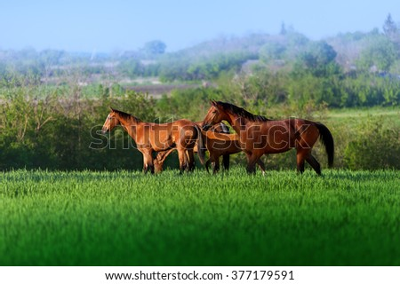 Three free horses walking in a field in high juicy green grass on a background of beautiful scenery. Herd of horses on pasture - stock photo