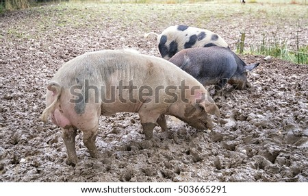 Three free range pigs outside in a muddy field on a farm in Wales.