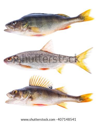 three freshwater fishes isolated on white background - stock photo