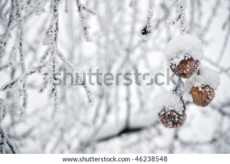 Three Frozen Apples Hanging From A Tree - stock photo