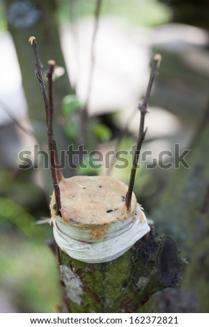 Three fruit tree twigs grafted on a tree trunk - stock photo