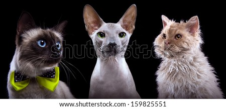 Three funny cats are isolated on a black background. - stock photo