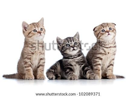 three funny Scottish kittens isolated on white background - stock photo