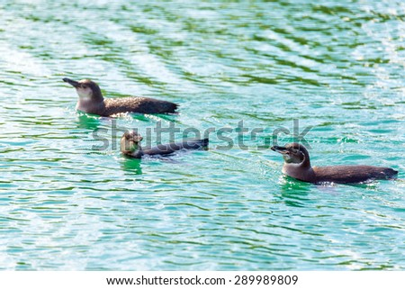 Three Galapagos Penguins swimming in the water near Isabela Island in the Galapagos Islands in Ecuador - stock photo