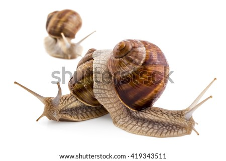 Three garden snails (Helix aspersa) isolated on white background. Mollusk. Teamwork concept - stock photo