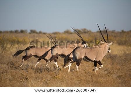 Three gemsbok running through dry grass in the Central Kalahari - stock photo