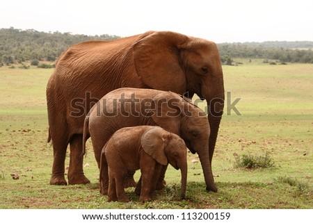 Three generations of female elephants together. - stock photo