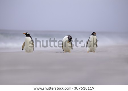 Three Gentoo Penguins on the beach. Falkland Islands.