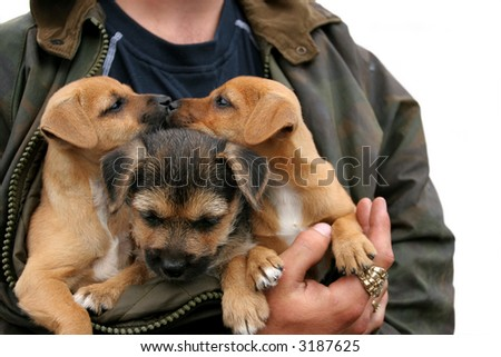 Three german shepherd and labrador crossed puppies, two of them kissing,  in the arms of a man with large gold and diamond rings on his fingers. Over white. - stock photo