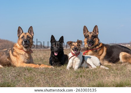Three german shepherd dogs and other dog lie at the field and look ahead - stock photo