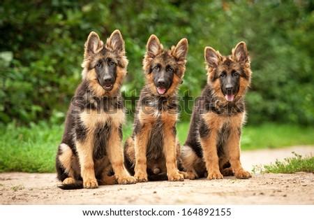 Three german shepherd puppies  - stock photo