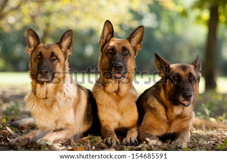 Three German Shepherds in a park - stock photo