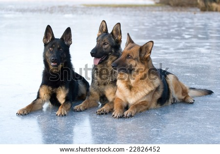 Three German shepherds  lying on the ice