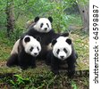 Three giant pandas posing for camera - stock photo