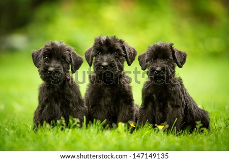 Three giant schnauzer puppies sitting on the lawn - stock photo