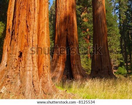 Three giant sequoias at the edge of a meadow in Sequoia National Park - stock photo
