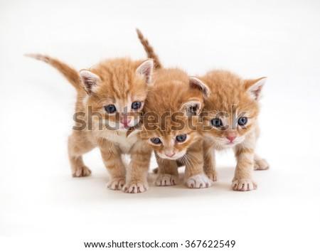 Three ginger kitten pet, breed, mammal, white background - stock photo