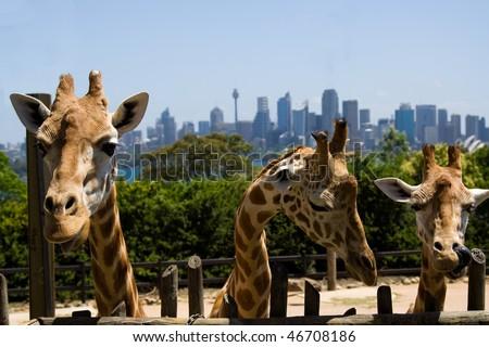 three 3 giraffe heads with long necks in Australia Sydney wildlife park zoo Taronga with city background - stock photo