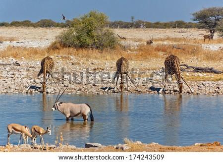 Three giraffes drinking from waterhole, african nature and wildlife reserve, Etosha, Namibia  - stock photo