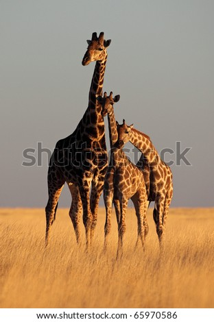 Three giraffes forming a perfect triangle bathed in soft sunset light, Etosha National Park, Namibia, SW Africa - stock photo