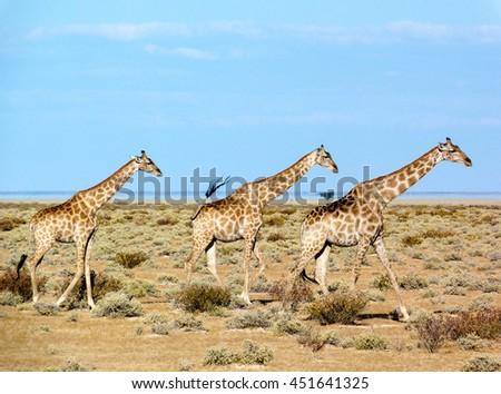 Three giraffes in Etosha national park, Namibia, Africa - stock photo