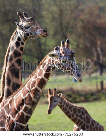 Three giraffes including a young one posing against soft focus trees