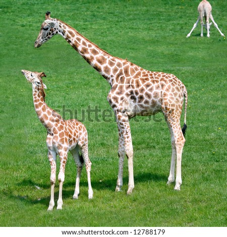 three giraffes on green summer meadow - stock photo