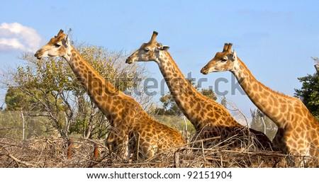 Three giraffes posing - stock photo