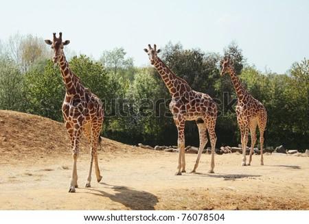 Three giraffes walking in the wild. - stock photo