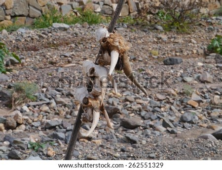 Three goat skulls on a stick on the Canary island Fuerteventura belonging to Spain - stock photo