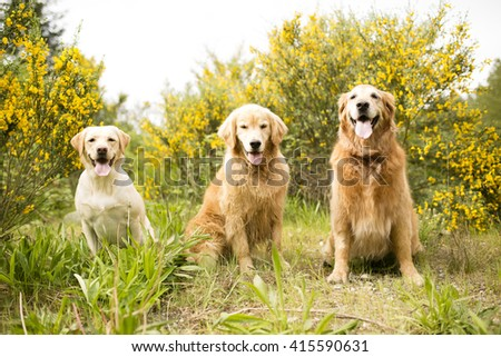 Three Golden Dogs in the flowers and field  - stock photo