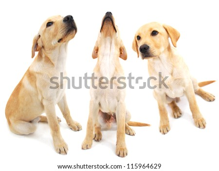 Three golden labrador puppies composited on white