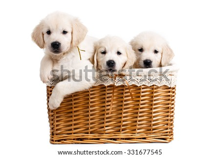 Three golden labrador retriever puppies, three weeks old sitting in basket - stock photo