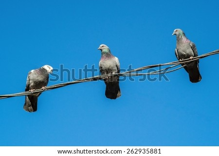three gray a pigeon closeup sit on a wire against the empty blue sky and look down and aside - stock photo