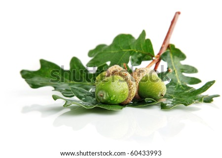 three green acorn fruits with leaves isolated on white background - stock photo