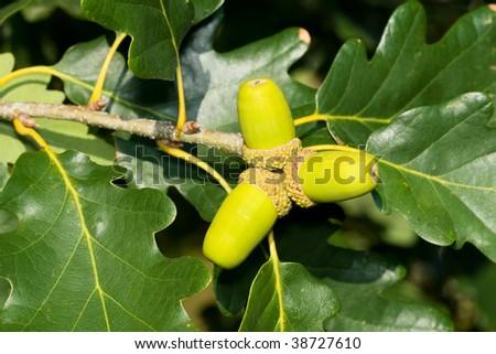 Three green acorns on the tree - autumn motive - stock photo