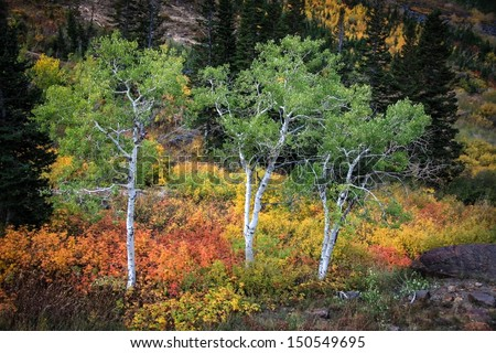 Three green aspens in autumn time that haven't changed yet but mountain autumn colors all around them in Utah/ Three Green Trees - stock photo