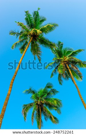 three green coconut palms with nuts on a background of sky - stock photo