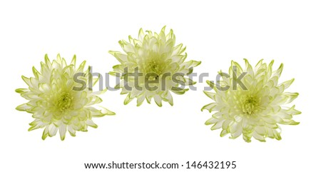 three green mum flower isolated on white background
