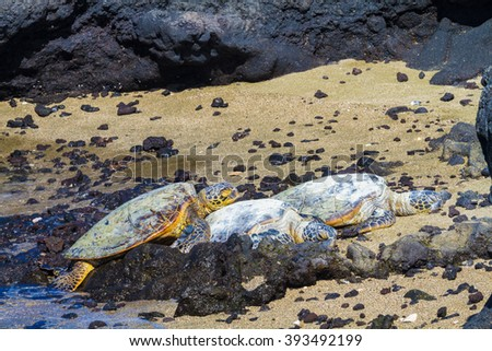 Three green sea turtles came out to the rocky volcanic beach in Hawaii to rest - stock photo